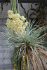 Yucca rigida - BG Madrid (Ruud de Block) Tags: ruuddeblock realjardínbotanicodemadrid asparagaceae yuccarigida yucca rigida