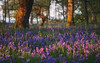 In Kinclaven (ShinyPhotoScotland) Tags: colourful relaxed dof sunlight bokeh equipment manipulated toned flora fuji1650mm photography bluebell contentment contrasts perthshire trees landscape rawtherapee colour bluebells digikam intimatelandscape depthoffield fuji composite weather blur tranquil goldenhour lastlight idyll hdr fujixt20 lens lightanddark uplifting kinclaven light brightglowingcolour nature vibrant rawconversion composition places syntheticfujiprovia100 flowers narrowdof enfuse pure scotland warm filmemulation art peace calm lowviewpoint pentax50mmf17 camera emotion woodland woods