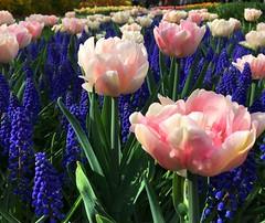 """Tulipes """"Only me"""" (Яeиée) Tags: keukenhof lisse paysbas fleurs millepétales lesjardins tulipes printemps bulbe liliacées feuillage foliage caduque explosion floraison europethebestphotos lesavoirfaire field flowers blooms multiflore multicolours champ tulips amsterdam sweet spicy fragrances champs multifleurs patrimoines netherlands"""