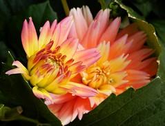 Dahlia Cluster - Opening (starmist1) Tags: dahlias flower opening maggiesgarden spring june