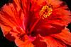 hibiscus (ttounces) Tags: ttounces ~jan~ hibiscus flower magicgarden