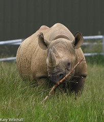 This is his stick (Katy Wrathall) Tags: 2018 england june summer yorkshirewidlifepark animals blackrhinoceros
