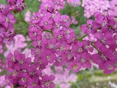 Little pink Flowers (Srossi23) Tags: little pink nature flowers petals garden summer