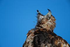 _RDX9965.jpg (rdelonga) Tags: buteojamaicensis redtailedhawk