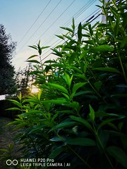Peaking. (thnewblack) Tags: huawei p20 p20pro leica leicaoptics android smartphone mobilephotography technology snapseed f18 40mp edit plant nature sunflare close