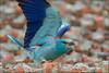 Rolieiro (Coracias garrulus) (Isabel Kardoso) Tags: colorido azul migratória ave raro