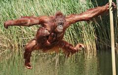 Orangutan Samboja and Indah Apenheul BB2A9445 (j.a.kok) Tags: orangutan orangoetan orang animal aap ape apenheul asia azie mammal monkey mensaap motherandchild moederenkind primate primaat zoogdier dier indah samboja