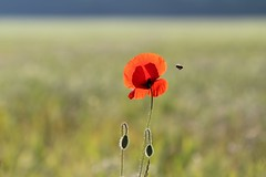 Liberté (Callie-02) Tags: horizon contrejour boutons lumière pavot printemps extérieur champêtre proximité profondeurdechamp canon bokeh détails ombres abeille insecte couleurs bleu rouge ciel champ nature plante fleur coquelicot