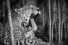 20180528_DIG-0329-Edit (jrstout55) Tags: zoophotos louisvillezoo zoo jaguar jaguarphotos louisvillezoojaguar endangeredspecies feline bigcats
