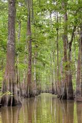 Swampy Corridor (Nola Nate) Tags: atchafalaya swamp cypress trees tupelo water reflection louisiana flatlake morgancity ibeauty