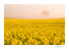 Rapeseed Mist (George-Edwards) Tags: landscape rapeseed canola oilseedrape yellow field crop farm land flowers nature wildlife countryside rural outdoor tree spring seasons mist fog cloud sunrise dawn morning daybreak golden sun light plant sky berkshire england georgeedwards