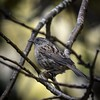Dunnock (njohn209) Tags: birds d500 nikon nz