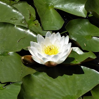 Wheaton, IL, Cantigny Park, Idea Garden, White Water Lily Flower with Pads
