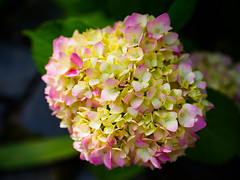 A pink hydrangea turning (Raoul Pop) Tags: garden morning spring macro flowers plants hydrangea home tinged color white