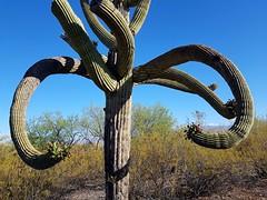 The Desert's Embrace (jeffcbowen) Tags: cactus saguaro desert tucson arizona