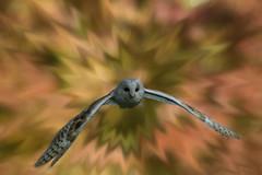 burst (jeff.white18) Tags: barnowl owl bird birdofprey flight wings nature fly nikon flickr