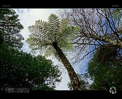 Tree Fern (tomraven) Tags: tree treefern sky clouds blue green newzealand tomraven aravenimage q22018 sony a77 fern