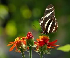 Panasonic FZ1000, Butterflies, Botanical Gardens, Montréal, 22 April 2018 (15) (proacguy1) Tags: panasonicfz1000 butterflies botanicalgardens montréal 22april2018