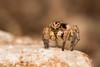 Aelurillus v-insignitus, male (mmariomm) Tags: alerillus v insignitus male jumping spider spain