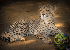 Looking for His Soccer Buddy (helenehoffman) Tags: cub animalsinaction sandiegozoo cheetah cubs animal animalambassador wildlife conservationstatusvulnerable felidae acinonyxjubatus feline bigcat africa nature carnivore mammal