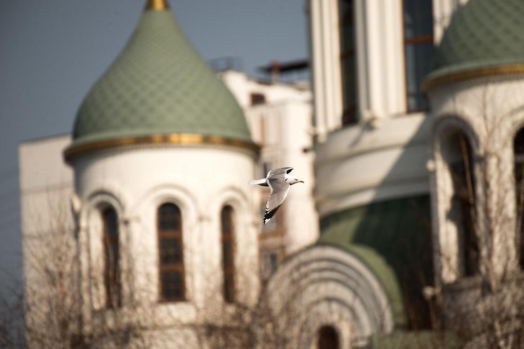 фото: Чайка озёрная