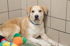 Lacey (Pet Haven) Tags: americanpitbullterrier shydog ahs euthansialist