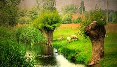"""Art is a harmony parallel with nature.""     Paul Cezanne (genevieve van doren) Tags: damme landscape paysage sheep moutons birds oiseaux water eau trees arbres"