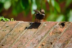 Dunnock on a wall (Dave_A_2007) Tags: prunellamodularis bird dunnock hedgeaccentor hedgesparrow hedgewarbler nature wildlife stratforduponavon warwickshire england