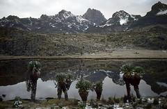 Lac Michaelson 3953 m (Daniel Biays) Tags: lacmichaelson séneçonsgéants dendroseneciokeniodendron mountkenyanationalpark montkenya montagnes mountains kenya