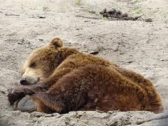 Eurasian brown bear - Napping hole (Rasenche) Tags: landgoedhoenderdaell animal eurasianbrownbear ursus bear brownbear annapaulowna
