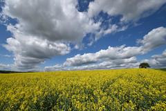 Le fascinant monde des nuages - 3 (Excalibur67) Tags: nikon d750 sigma 1224f4556iidghsm paysage landscape nature nuages ciel cloud sky flowers fleurs colza jaune yellow