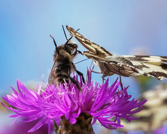 Karate Bee (FocusPocus Photography) Tags: biene bee schmetterling butterfly schachbrett marbledwhite blume flower karate kampf fight tier animal himmel sky