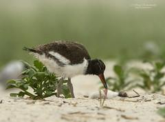 Oystercatcher chick and Common tern chick (suraj.ramamurthy) Tags: nikon500mm nikond500 longislandbeaches
