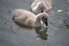 Baby swans (Tony Worrall) Tags: nature natural color cool nice nw northwest update place location uk england north visit area attraction open stream tour country item greatbritain britain english british gb capture buy stock sell sale outside outdoors caught photo shoot shot picture captured wild beast creature love cute animal outdoor swan wet canal water grey feathers cygnet baby young small