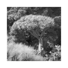 La Palma - Lights & Shadows #11 (memories-in-motion) Tags: lapalma kanaren island blackandwhite mono black white square nature landscape canon mood canary islands tree drachenbaum green ef70200mm 7dmarkii hunderte jahre alt