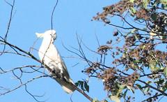 377. White Parakeet (1000 Wildlife Photo Challenge) Tags: parakeet whiteparakeet parrot perth australia