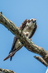 DO YOU MIND, I'm trying to eat here (Fred Roe) Tags: nikond810 nikkorafs80400mmf4556ged nikonafsteleconvertertc14eii nature wildlife birds birding birdwatching birdwatcher birdwithprey osprey pandionhaliaetus peacevalleypark raptor