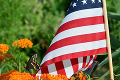 Happy Fourth of July! (NaturalLight) Tags: fourthofjuly independenceday flag swallowtail butterflymilkweed chisholmcreekpark wichita kansas american