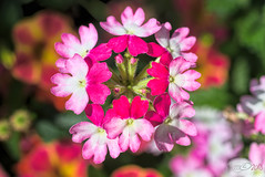 Square Flower (fs999) Tags: 100iso fs999 fschneider aficionados zinzins pentaxist pentaxian pentax k1 pentaxk1 fullframe justpentax flickrlovers ashotadayorso topqualityimage topqualityimageonly artcafe pentaxart corel paintshop paintshoppro 2018ultimate paintshoppro2018ultimate masterphotos fleur flower blume bloem macrolife macro makro tamronspafdi90mmf28macro tamron sp af di 90mm macrolens 11 f28