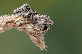 Owlet moth (2) - Vlasbekuiltje