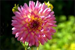 dahlia........... (atsjebosma) Tags: bloem bokeh licht atsjebosma summer zomer july juli 2018 groningen garden tuin thenetherlands nederland coth coth5 ngc npc