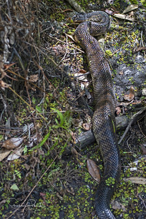 Water Moccasin or Cottonmouth