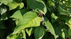 Red Twig Dogwood 'Baileyi' (dankeck) Tags: cornaceae cornussericea columbusohio columbus ohio osu ohiostate theohiostateuniversity arboretum centralohio franklincounty