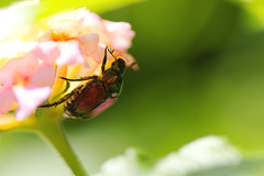 Junebug (brandon_gerringer) Tags: junebug insect beetle insectphotography nature naturephotography lantana flower flowerphotography macro macrophotography wildlife wildlifephotography garden green