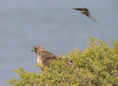 Divebombed by Barn Swallow (Hockey.Lover) Tags: redtailedhawk birds haywardregionalshoreline franksdump barnswallow