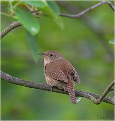 House Wren (Summerside90) Tags: birds birdwatcher housewren july summer backyard garden nature wildlife ontario canada