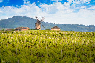 Windmill and vineyards of Moulin-A-Vent, Beaujolais
