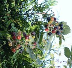 Brombeeren am Wegesrand (inleaj) Tags: brombeeren beeren natur pflanze darmstadt