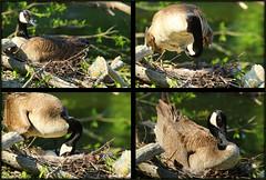 "Mother goose nursery (Darrell Colby "" You Call The Shots "") Tags: mothergoose goose canadagoose nursery egg eggs nest mothernature londonontario darrellcolby"