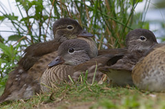 Ducklings (MV Photography (900,000 + Views)) Tags: canon 7d nature ducklings